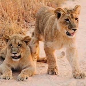 safari de luxe lions voyage au Zimbabwe