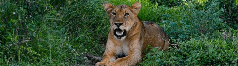 Lion bandeau Voyage en Ouganda safari de luxe