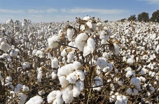 noces de coton symbole un an de mariage - champs de plantation de coton