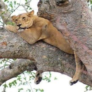 Lion faune sauvage Ouganda