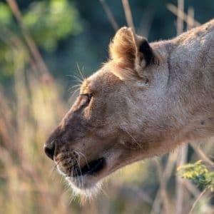 safari Afrique Lion voyage Malawi