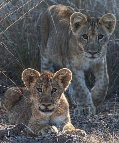 safari Zambie et Malawi lions sauvages BIG Five