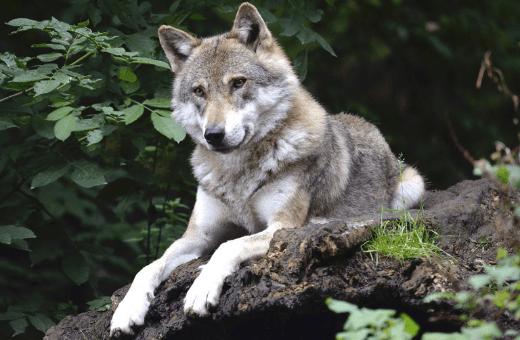 nuit avec les loups vacances insolites en France