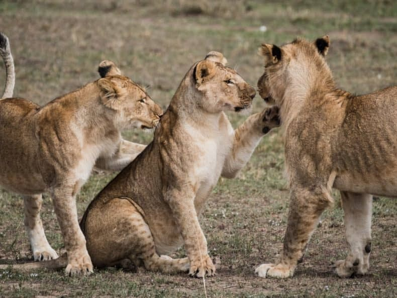 faune sauvage lions safaris d'exception