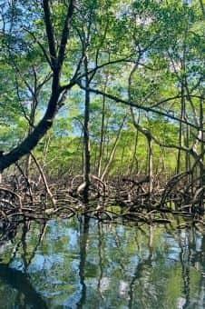 mangrove kayak antilles voyage