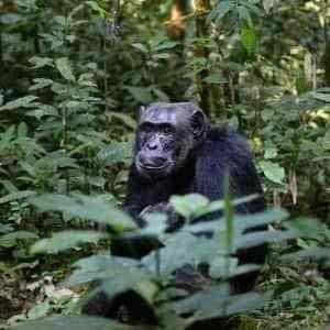 Voyage safari Ouganda gorille forêt Bwindi